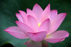 A lotus flower. Ancient symbol of purity.