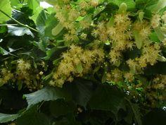 hársfavirág, nagylevelű hárs The Cure, Vitamins, Herbs, Health, Plants, Health Care, Herb, Plant, Vitamin D