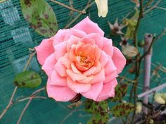 What a beautiful rose