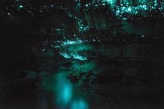 the waitomo caves of new zealand's northern island, formed two million years ago from the surrounding limestone bedrock, are home to an endemic species of bioluminescent fungus gnat (arachnocampa luminosa, or glow worm fly) who in their larval stage produce silk threads from which to hang and, using a blue light emitted from a modified excretory organ in their tails, lure in prey who then become ensnared in sticky droplets of mucus. photos from spellbound waitomo tours, forevergone, blue ...