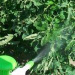 Dans la lutte préventive contre mildiou de la tomate, nombreux sont les témoignages citant le bicarbonate de soude comme étant efficace. Ce qui fait le soulagement des jardiniers car on a la un produit économique, biodégradable et non toxique pour l'environnement et pour la santé. Dans un premi