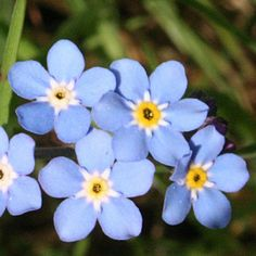 Facts at Instagram @TheCVF Wood Forget-me-not #Ireland. A report suggesting that over 20 per cent of Ireland's native plant life are now under #threat from #climatechange has been released in #Dublin. #CVFFacts