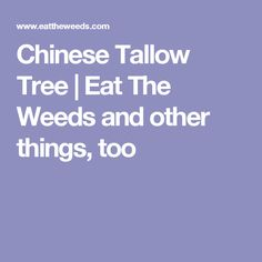 Chinese Tallow Tree | Eat The Weeds and other things, too