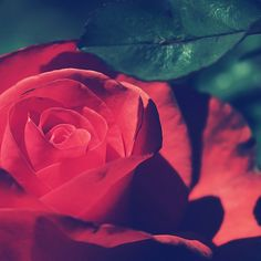 Vintage Rose is a photography style print which captures the delicacy and beauty of the rose through the use of fine details and bold colours.