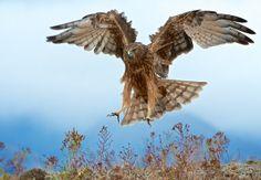 Wild Kahu New Zealand Harrier Hawk Wildlife Nature, Nature Animals, Hawk Tattoo, New Zealand Houses, Birds Of Prey, Flying Birds, Bird Wings, Sea Birds, Bird Art