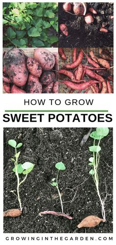Here are eight tips for how to plant, grow, and harvest sweet potatoes. Just a few plants provide a plentiful harvest of sweet potatoes. Learn How to Grow Sweet Potatoes in your backyard vegetable garden Garden Types, Backyard Vegetable Gardens, Vegetable Garden Design, Garden Plants Vegetable, Balcony Gardening, Kitchen Gardening, Gardening Books, Greenhouse Gardening, Hydroponic Gardening