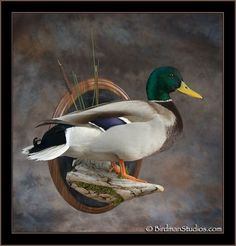 Drake Mallard Getting my drake done just like this.