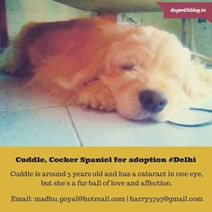 Cuddle a tiny Cocker Spaniel girl  for adoption #Delhi She's full of love and affection and is searching for a loving forever home which can handle a dog with poor vision. Two weeks ago she was rescued by an animal lover from a maid who was trying to sell her to a breeder. A lovely couple agreed to foster her till adoption. Cuddle is around 3 years old. She has a cataract in one eye the other eye has only 20 % vision because of a bad infection which is being treated with eye drops.We're not…