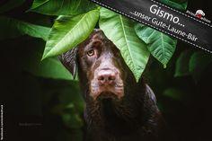 Gismo No. 1  ...unser Gute - Laune - Bär.  Wir bedanken uns bei Seda Kurmut für das tolle Bild. (Simba the King of Dogs)  #printmelion #onlinedruck #Gismo http://www.printmelion.de