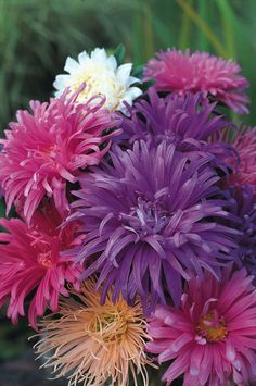 Aster Ostrich Plume Mixed 250 Seeds ** Details can be found by clicking on the image. (This is an affiliate link)