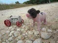 Mini Teacup Pigs   Piggly Wiggly Micro Mini Pigs And Juliana / Teacup Miniature Pigs !!!