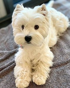 Westie Puppies, Cute Dogs And Puppies, Pet Dogs, Chihuahua Dogs, Doggies, Cute Little Animals, Little Dogs, Paddy Kelly, Purebred Dogs