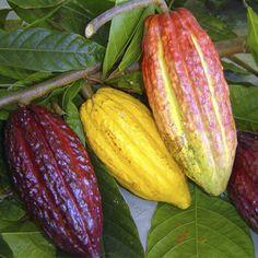 Frutas de A a Z - Cacau 16