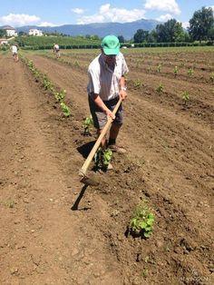 Le viti crescono e devono essere ripulite dalle erbacce. Un po' si lavora con la zappa e un po' con il trattore.