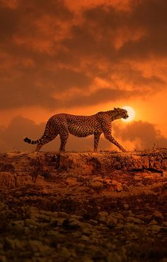 Cheetah prowl by night
