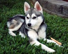 alaskan klee kai? A mini Huskey...are you kidding me. I'll take 5...