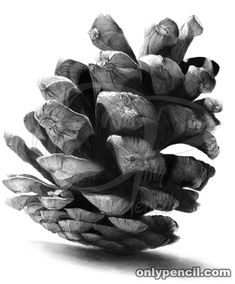 Pine Cone Pencil Drawing by onlypencil Cool Pencil Drawings, Pencil Drawings Of Animals, Pencil Drawing Tutorials, Graphite Drawings, Drawing Sketches, Art Drawings, Drawing Tips, Sketching, Hipster Drawings