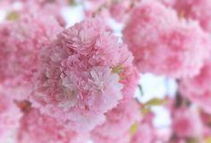 Flores de cerezo japonés