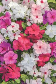 Vinca (catharanthus roseus)- annual- hanging baskets, rose container, basket container, and ifo hydrangeas.