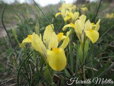 Iris arenaria