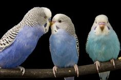 The budgie is an easy-care friend bundled up in a small parrot package. He comes in enough colors to paint a tropical daydream and greets most mornings cheerfully. However, he needs a few basics to thrive, may do best as a couple and does not take kindly to being ignored.