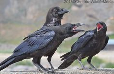 Raven family at the west shore, Llandudno by  by ChesireWildlifeMedia
