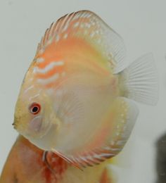 Golden Crystal Discus