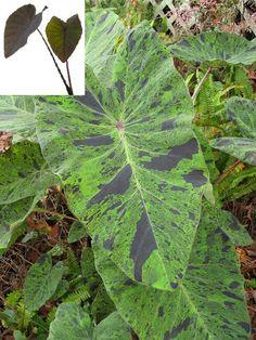 "Colocasia ""Mojito"" elephant ear plant"