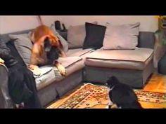 #Great #Dane vs #Cat