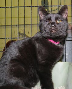 CODE RED!!~~~~SUPER URGENT!!~~~~~5-473 is an adoptable Domestic Short Hair-black searching for a forever family near West Babylon, NY. Use Petfinder to find adoptable pets in your area.