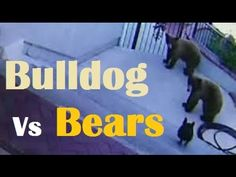Brave Dog: French bulldog has been caught on CCTV while casing two bears. Military Life, Back Gardens, Dog Grooming, Viral Videos, Brave, French Bulldog, Dog Lovers, Pup, Reading