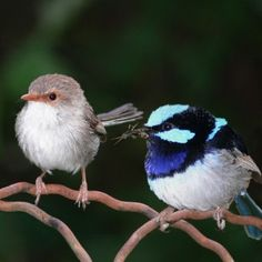 blue wrens     blue wrens flit about the forests and towns in the south west corner of Western Australia. The males are at their most brilliantly coloured during spring, while the females are always brown.