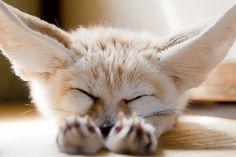 sleeping fennec fox ... indigenous to the Sahara Desert in North Africa (Morocco, Algeria, Libya, Egypt, Mauritania, Mali) ... this fennec fox is a pet in Japan