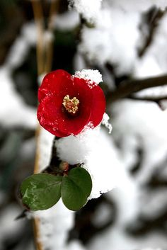 ✯ Flower blooms in the heart of winter