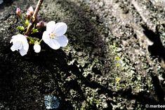 写真 染井吉野 202101 先始めましたね #写真 #photo #花 #flower My Works, Plants, Plant, Planets