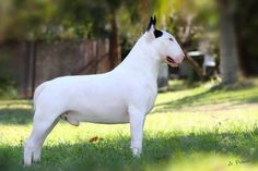Proud male EBT white with black ear markings. Bull Terrier Funny, Animals And Pets, Cute Animals, Miniature Bull Terrier, Dog Suit, Terrier Breeds, Purebred Dogs, English Bull Terriers, A Beast
