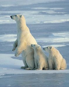 Save the Polar Bears! They will soon be extinct due to Global Warming!