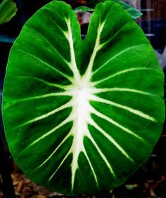 Colocasia Nancy's Revenge a stunner, this Colocasia has light green leaves that show off the buttercream yellow of the midrib and side veins. A must have!