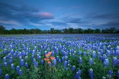 I do believe I want some bluebonnets in my yard....