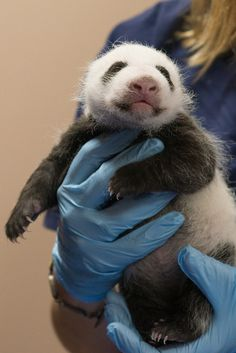 The National Zoo's panda cub is the definition of adorable.