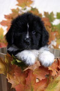 W/B newfie pup <3