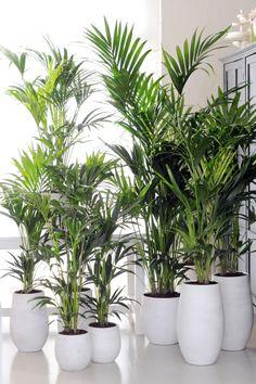 Howea bringt frisches Grün ins Wohnzimmer. #pflanzenfreude