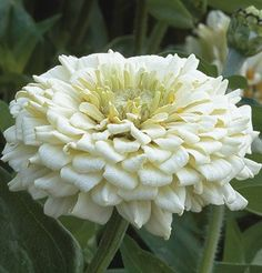 High yield of long, sturdy stems with fully double, dahlia-like blooms. Vigorous plants hold up well in summer heat and rain. Low susceptibility to powdery mildew. Blush Flowers, Fall Flowers, Summer Flowers, Cut Flowers, Wedding Flowers, White Dahlias, White Flowers, Spring Garden, Lawn And Garden
