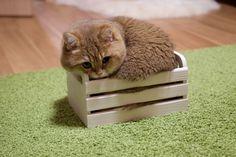 Hosico Cat http://www.boredpanda.com/cute-hosico-cat/?utm_source=facebook&utm_medium=link&utm_campaign=BPFacebook