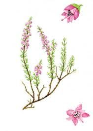 flowering heather art - Google Search