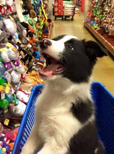 Which one can I have. Cute Boarder Collie