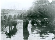 Elephants bathing in the River Avon in Chippenham town centre in 1906. The elephants were part of a travelling circus and the Avon at Chippenham clearly provided a welcome break for the elephants as they walked to the venue for their next performance. #Chippenham #Wiltshire