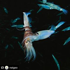 .Love is in the air and underwater! Happy Valentines Day Everyone!  #Repost @natgeo  Photo by @BrianSkerry  A pair of California Market Squid (Loligoopalescent)embrace in the water column at night in the warm waters off of Channel Islands in California. The males arms blush a red color as a warning during spawning commanding competing males to stay away. Like alien spacecraft squid move through the water flashing colors and usingjet propulsion to quickly move in all directions. Squid are…