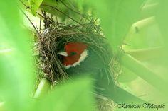Cardeal ou Galo Campina em seu ninho...