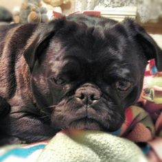 This is Tugboat Pug, all sleepy and ready for a nap.